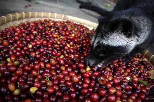 kopi luwak arabika
