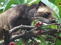 ciri-ciri kopi luwak asli